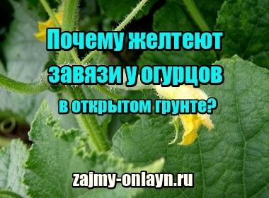 Изображение Почему желтеют завязи у огурцов в открытом грунте, что делать