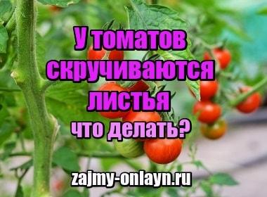 Картинка У томатов в теплице скручиваются листья – что делать